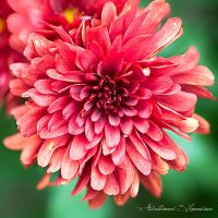 Red chrysanthemum by ashamandour