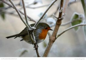 Robin In Frost by In-the-picture