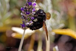 CARPENTER BEE by Sandy33311