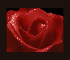 Blood Red Royal Rose by Callu