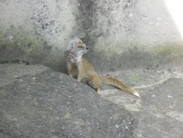 Mongoose on the rocks by MeglifKaddy