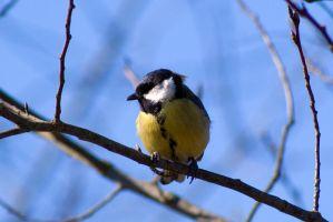 Titmouse by weirdfish2