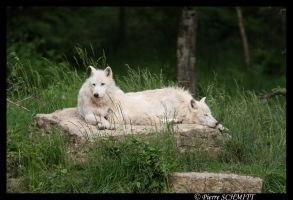 Two Arctic wolves by Kiba67
