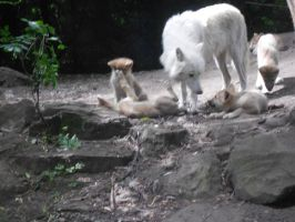 Hudson Bay wolf with cubs by whisperingwolvesx27