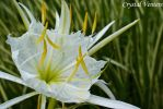 White Lily by poetcrystaldawn