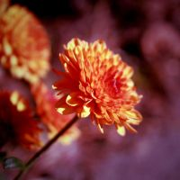 Chrysanthemum by incolor16