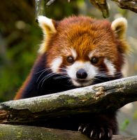 Red Panda by Noble-Kenshi