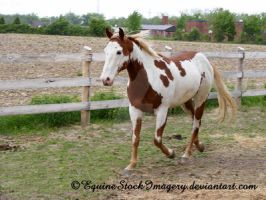 Paint Horse 17 by EquineStockImagery