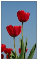 Red Tulip by Michelvreeke