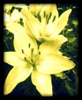 oh sweet lilies by x--photographygirl