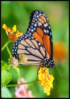 Monarch Butterfly by eccoarts