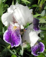 Blue and White Iris by JocelyneR
