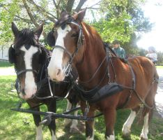 Clydesdales in harness by Reyphotos