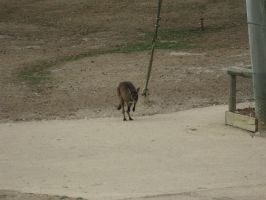 Wallaby-1-Stock by SilkenWebs