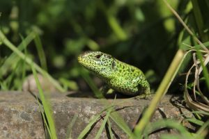 The Green Lizard by wuestenbrand