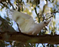 Corella by Liz-in-BackoBourke