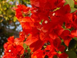 Red Bougainvillea by PeacefulSeraph
