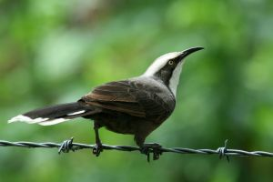 Grey-crowned babbler 2 by JeremyRingma