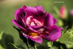 Purple Rose by Aneede