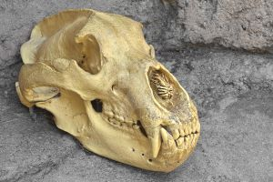 Bear Skull - Exclusive HDR Stock by somadjinn