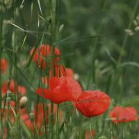 papaver rhoeas by m-lucia