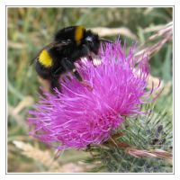 Bee on Thistle by IsaFortyThirty1