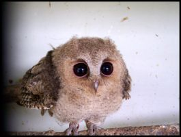 Baby Scops Owl II by makibird