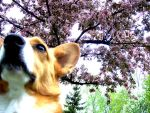 Springtime Corgi by Gwend-O-Ithilien