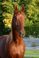 American Saddlebred Stock 61 by LuDa-Stock