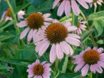 Purple Cone Flowers by NaughtyFairysBath