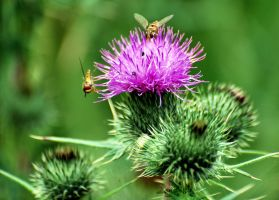 Thistle in bloom by Mark-Allison