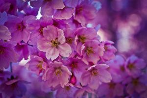 Blossoms by maxre