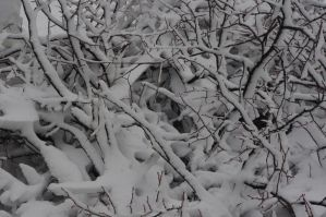 Snow branches by Nordas
