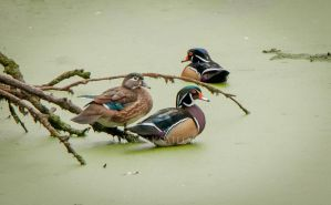 Wood ducks on algae by kayaksailor