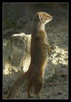 Worried mongoose by floflo