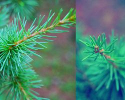 Pine needle by MetallerLucy