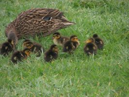 Bird Stock - Duck with Ducklings by Spyderwitch