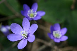 Hepatica nobilis by Arctictouch