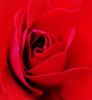 The inside of a rose by MadalinaGulerez