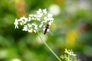 Another Hoverfly by foquinha156