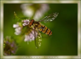 Hoverfly by nes1973