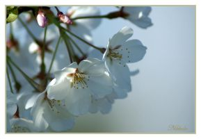 White Blossoms by froggy5