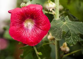 Althaea rosea by littleriverqueen