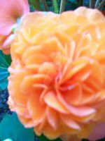 Orange Poofy Flower by CoralineJonesGirl