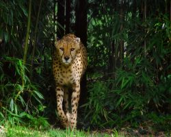 cheetah637 by redbeard31