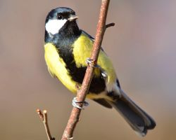 Great Tit 07 by nordfold