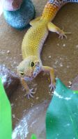 Stevie The Leopard Gecko by LeiiMaa