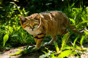 The Sand Cat by PictureByPali
