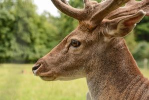 Fallow Deer Stock - Proud Buck in Profile by LuDa-Stock