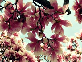 Spring Magnolias by Michies-Photographyy